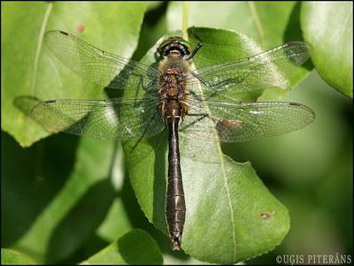 Agrā smaragdspāre (Cordulia aenea)
