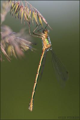 Rudens zaigspāre (Lestes sponsa)