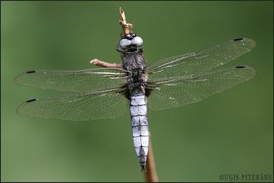 Mainīgā spāre (Libellula fulva)