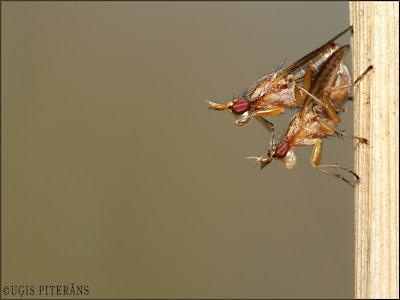 Gliemežmušas (Scyomizidae) pārojas