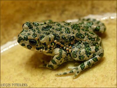 Zaļais krupis (Bufo viridis)