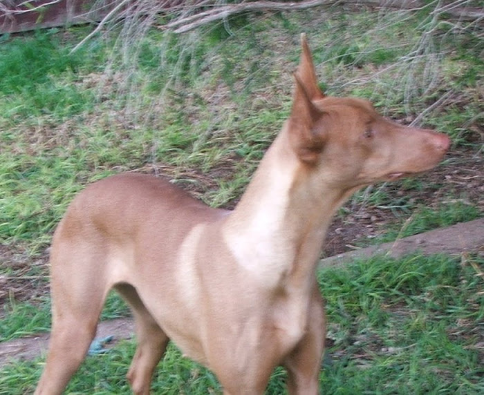 Ananka - one of our Pharaoh Hounds