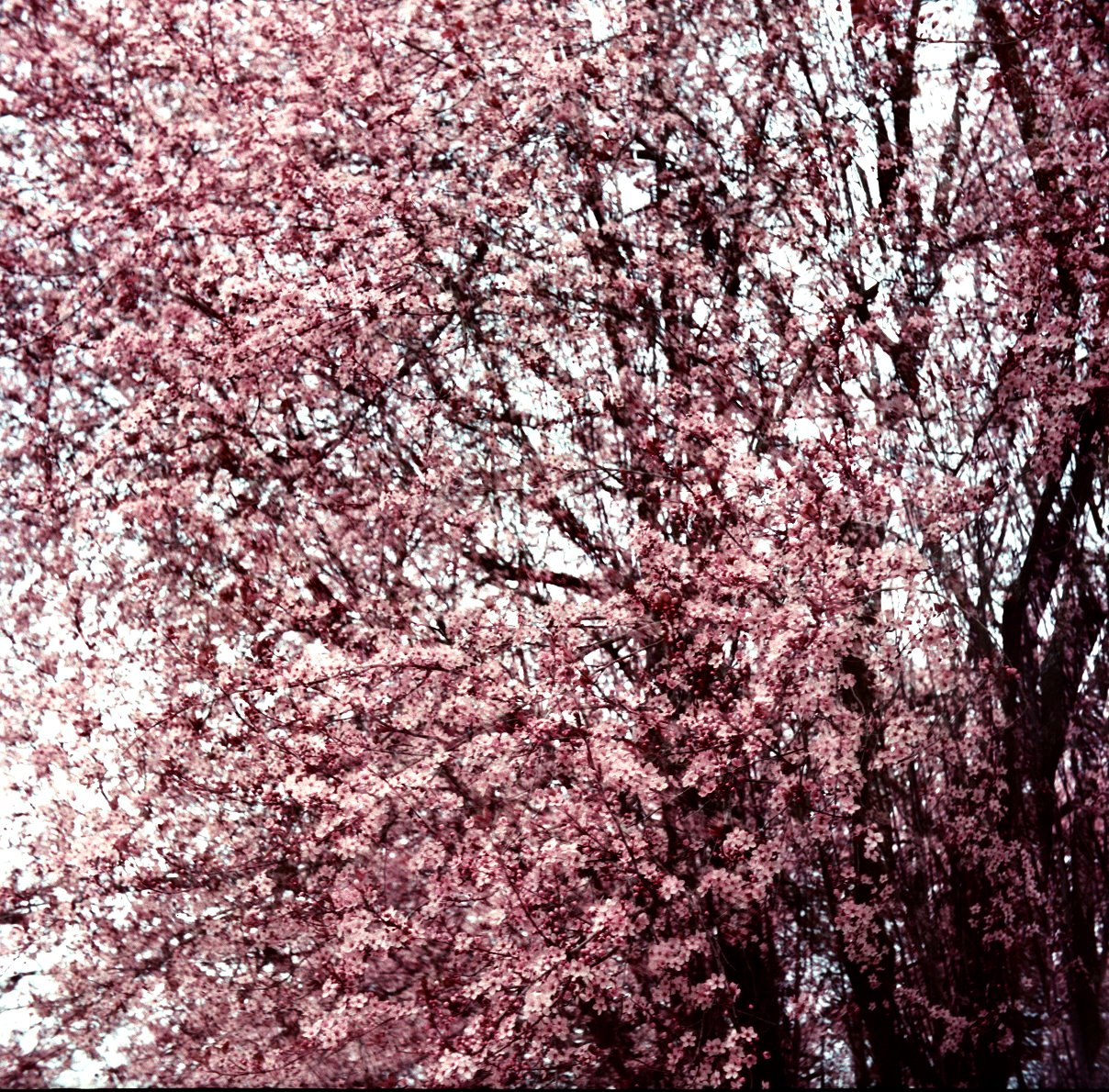 [Cherry+Blossoms+One]