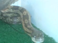 Boa el nombre de la serpiente.