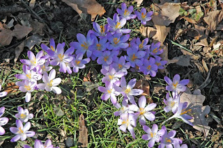 Splash of Croci Flowers of Spring