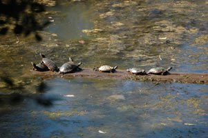 Turtles on a log 3+ Wonders of Kenilworth Aquatic Gardens