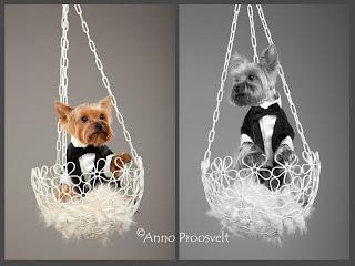 Koer rippkorvis, koera portree fotostuudios.