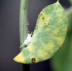 Mealybug with sticky excretions on a passiflora leaf showing typical discolorations