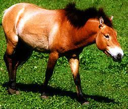 Cavalo Przewalski