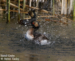 Eared Grebe in Display