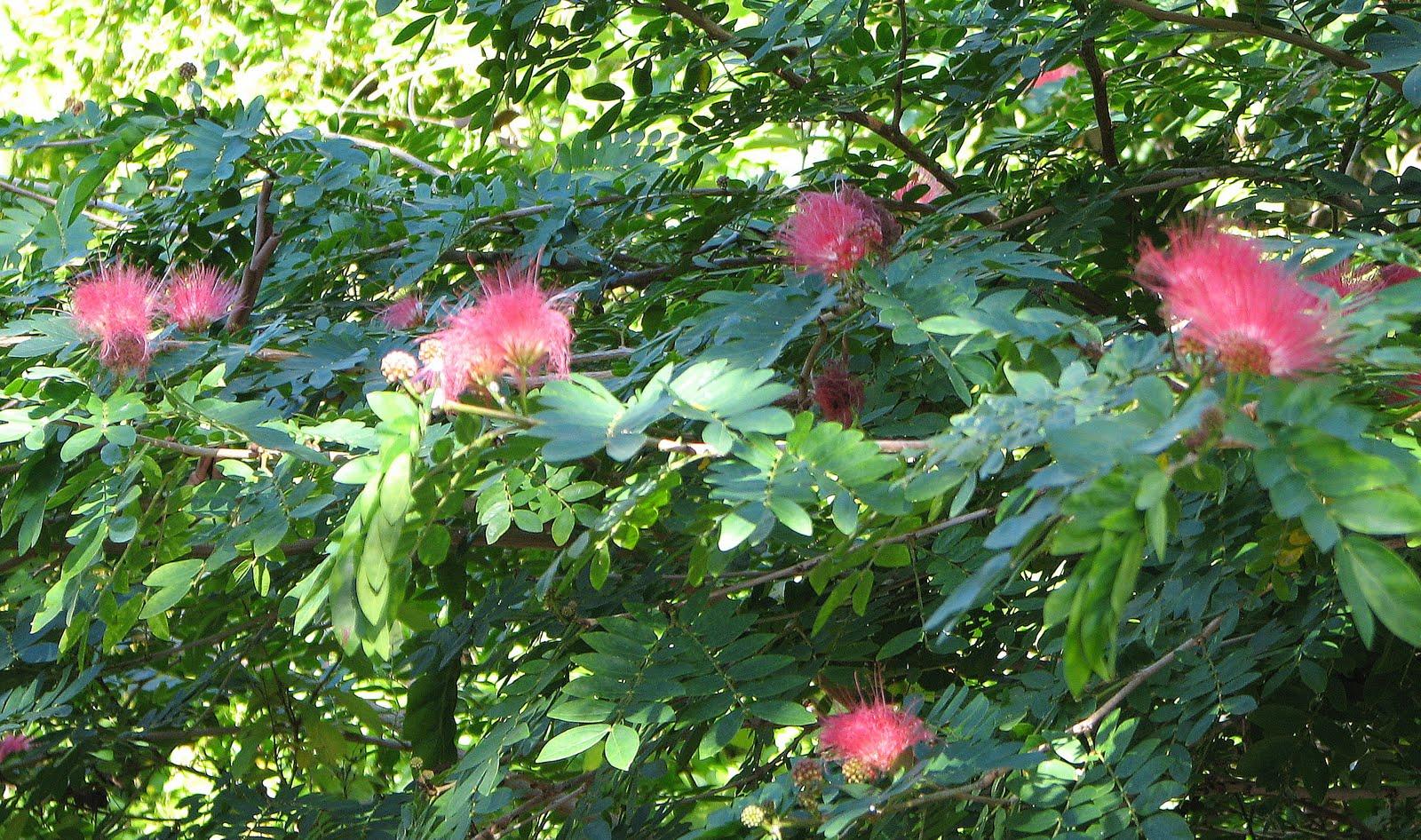 My dry tropics garden calliandras the striking powderpuffs wednesday august 4 2010 mightylinksfo