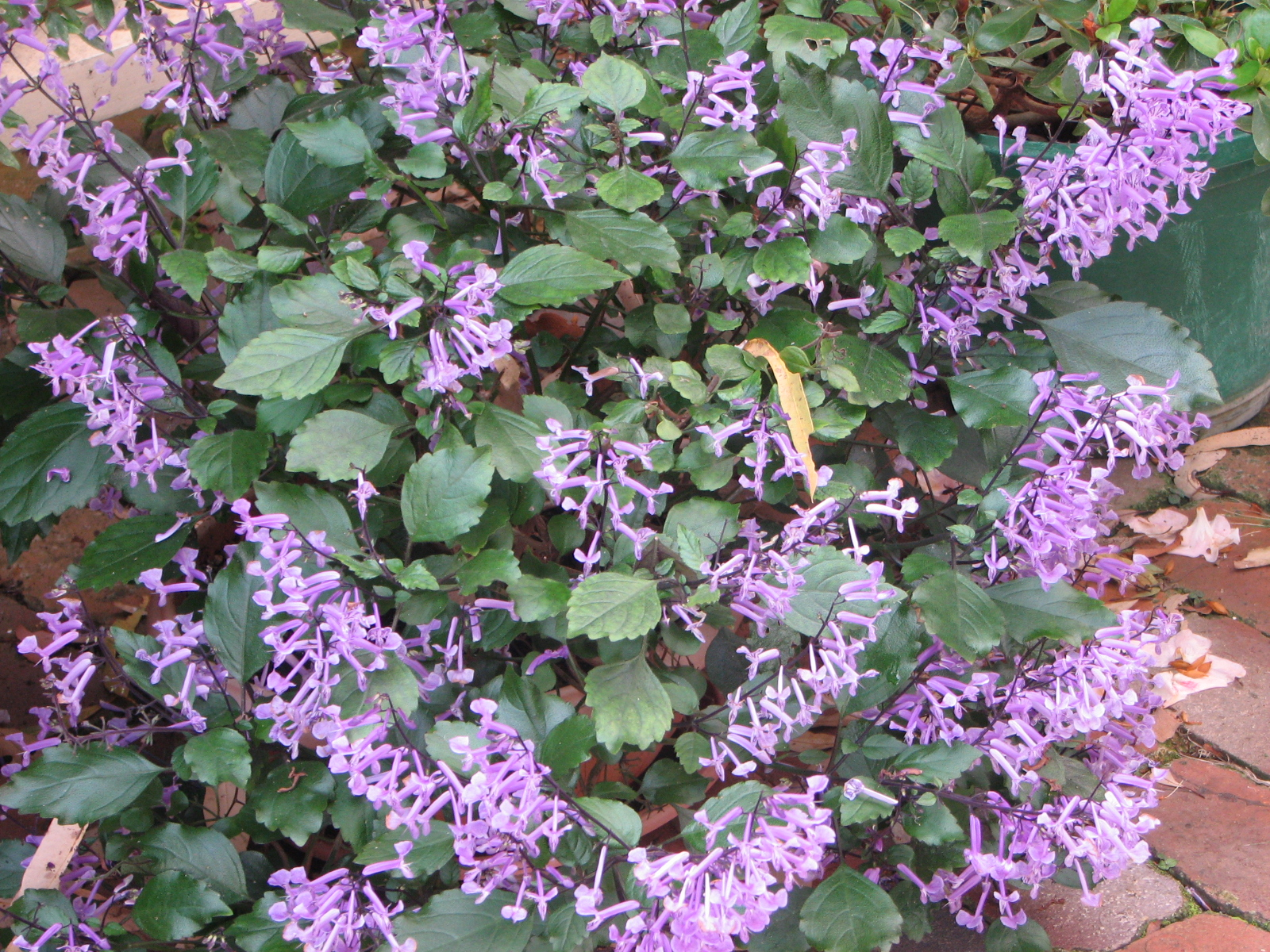 my dry tropics garden plectranthus 39 mona lavender 39. Black Bedroom Furniture Sets. Home Design Ideas