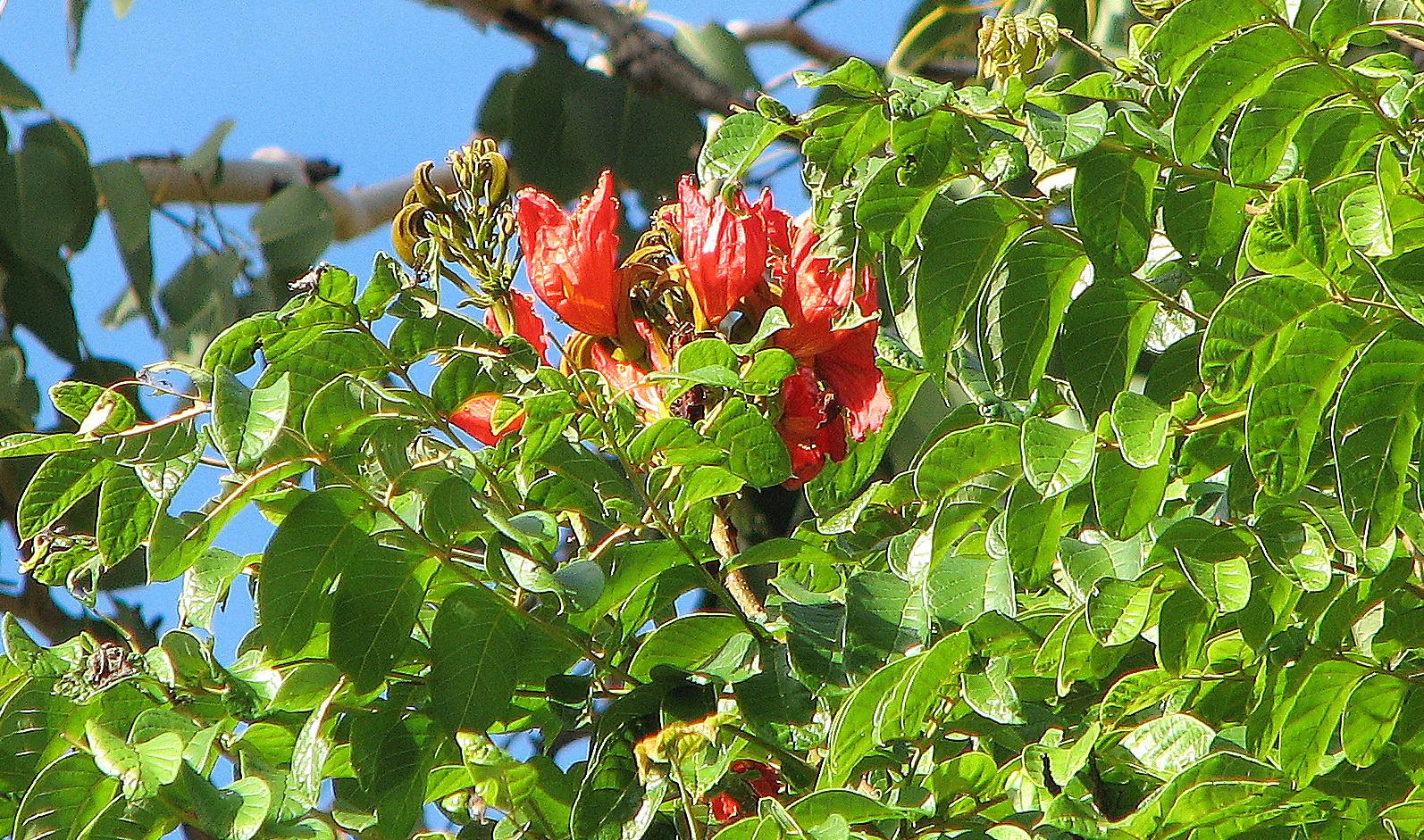 Tulip Poplar Tree Facts Tulip Poplar Tulip Tree