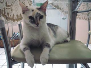 Gata Lili na cadeira da mesa da cozinha