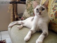 Gata Lili descansa no sofá da sala