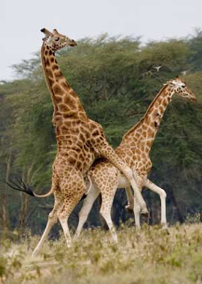 Pics+of+giraffes+mating
