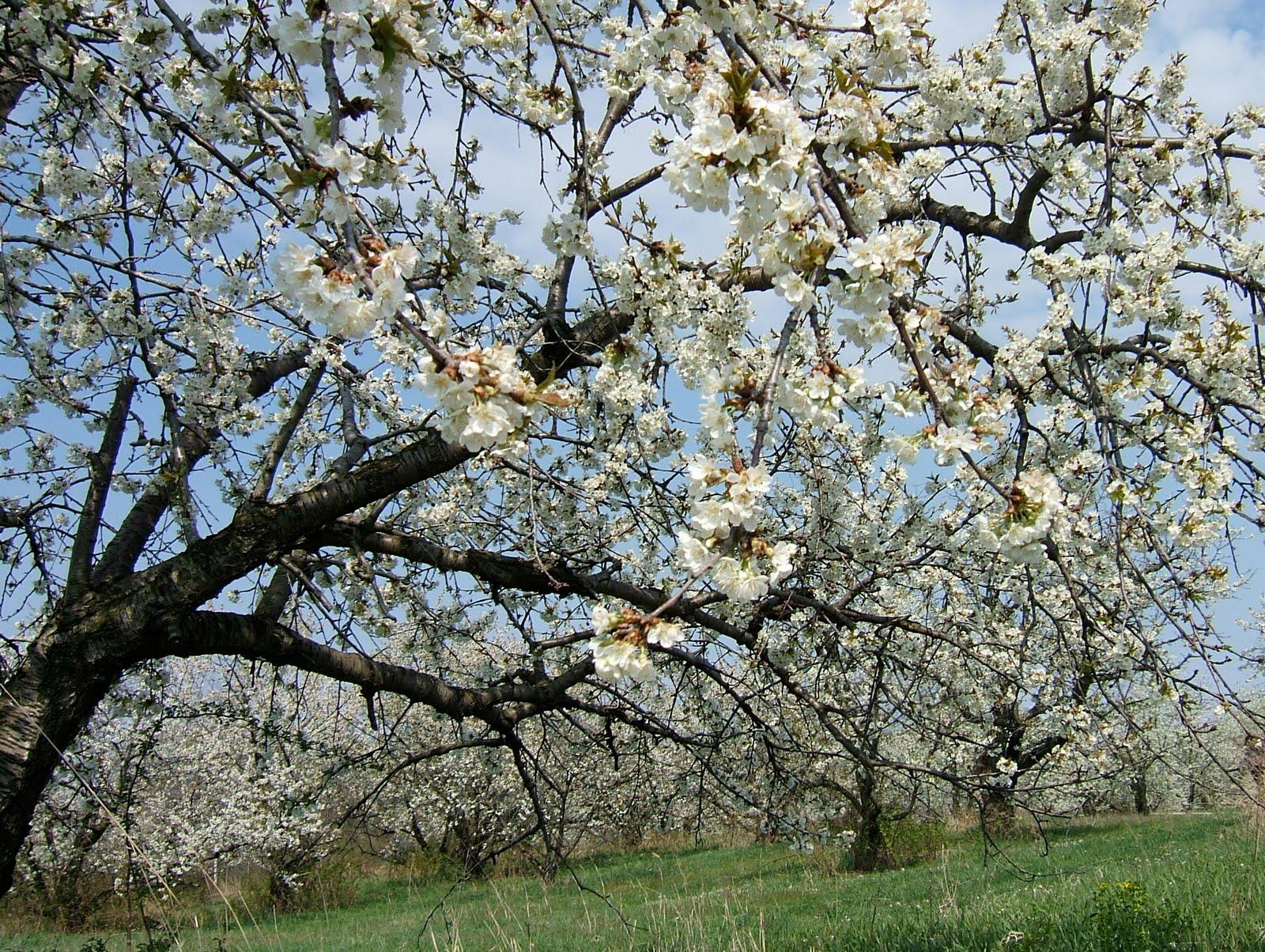 Shadblow Serviceberry Tree
