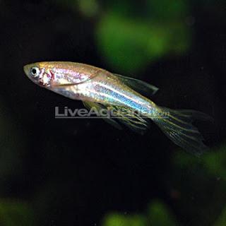 Zebra longfin danio freshwater fishs for Danio fish care
