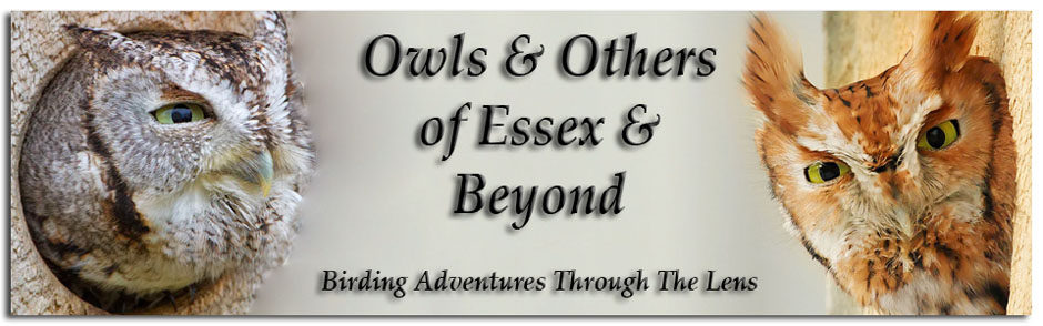 Owls &amp; Others of Essex, MA
