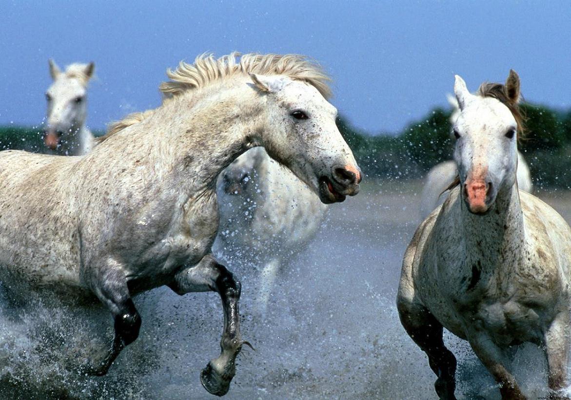 http://4.bp.blogspot.com/_Sl8GXM5tqao/Sf4i7kMxzbI/AAAAAAAAAT8/q06YYrndnUs/S1600-R/horses_running_in_water-1311.jpg