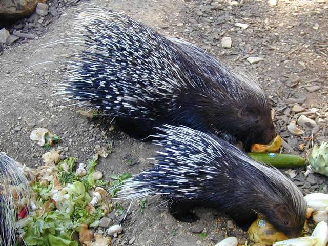 HALLOFUS: Guinea Pigs & Porcupines vs Hedgehogs