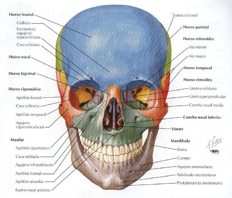 Imagen para el Diagnóstico Miguel Catalán: Anatomía cabeza