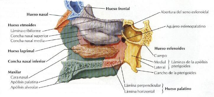 Imagen para el diagn stico miguel catal n anatom a cabeza for Pared lateral de la cavidad nasal