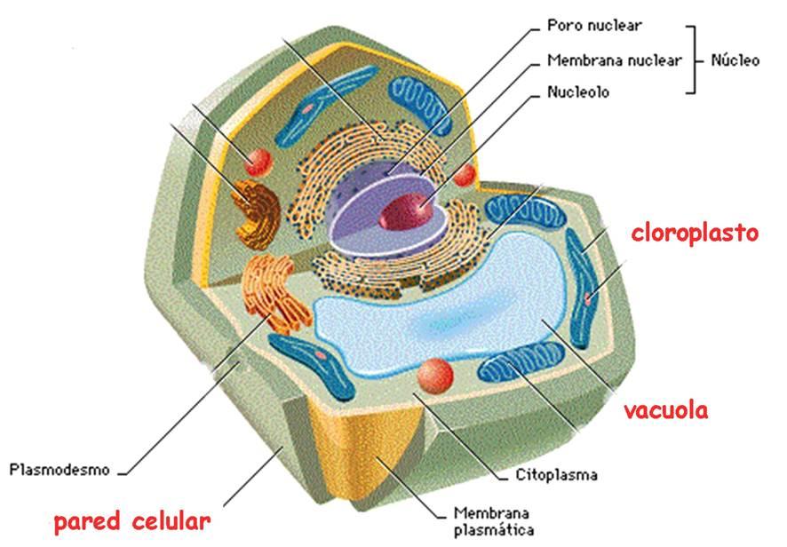 Biolog a vegetal febrero 2013 for Pared y membrana celular