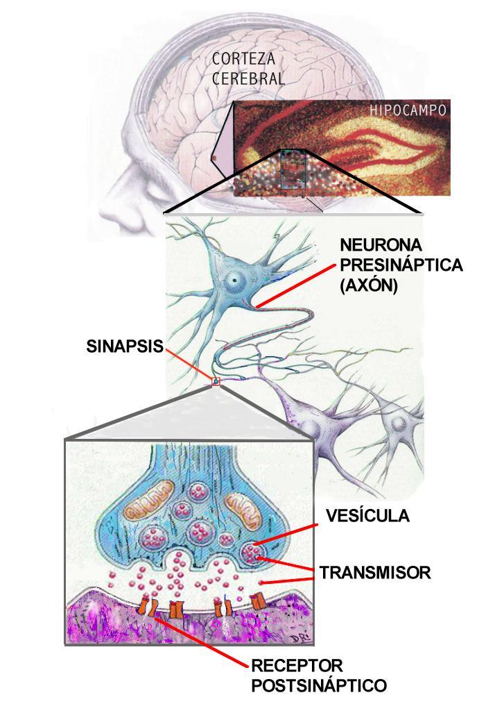 Sinapsis Electrica