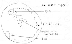 Salmon Egg Sketch