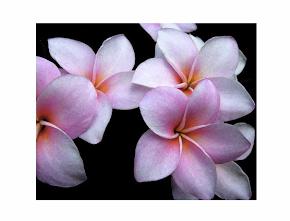 Kauai Plumeria Watercolor Blank Cards