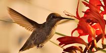 Hummingbird Blank Cards