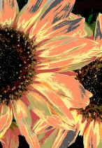 Coral Sunflower Blank Cards