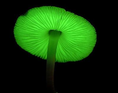 http://4.bp.blogspot.com/_SqhhJb_P3Kk/SAAE70pGw0I/AAAAAAAAAcU/_3GBXSYJZ6o/s400/luminescent+mushroom.jpg