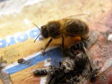 les abeilles du jardin d'Hélène