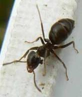 Semut Super Mulai Menyerang Eropa dan Asia