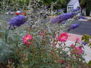 Butterfly bush 'Lochinch'