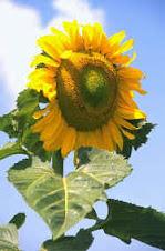 matahariku....