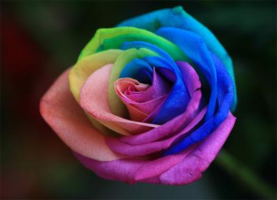 Bunga Tercantik di Dunia : Rainbow Roses