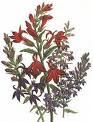 Lobelia - Pretty Useful
