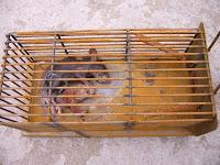 Bulgarian Cat And Rat Saga