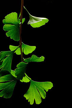 Gingko Biloba - Fashionable Right Now