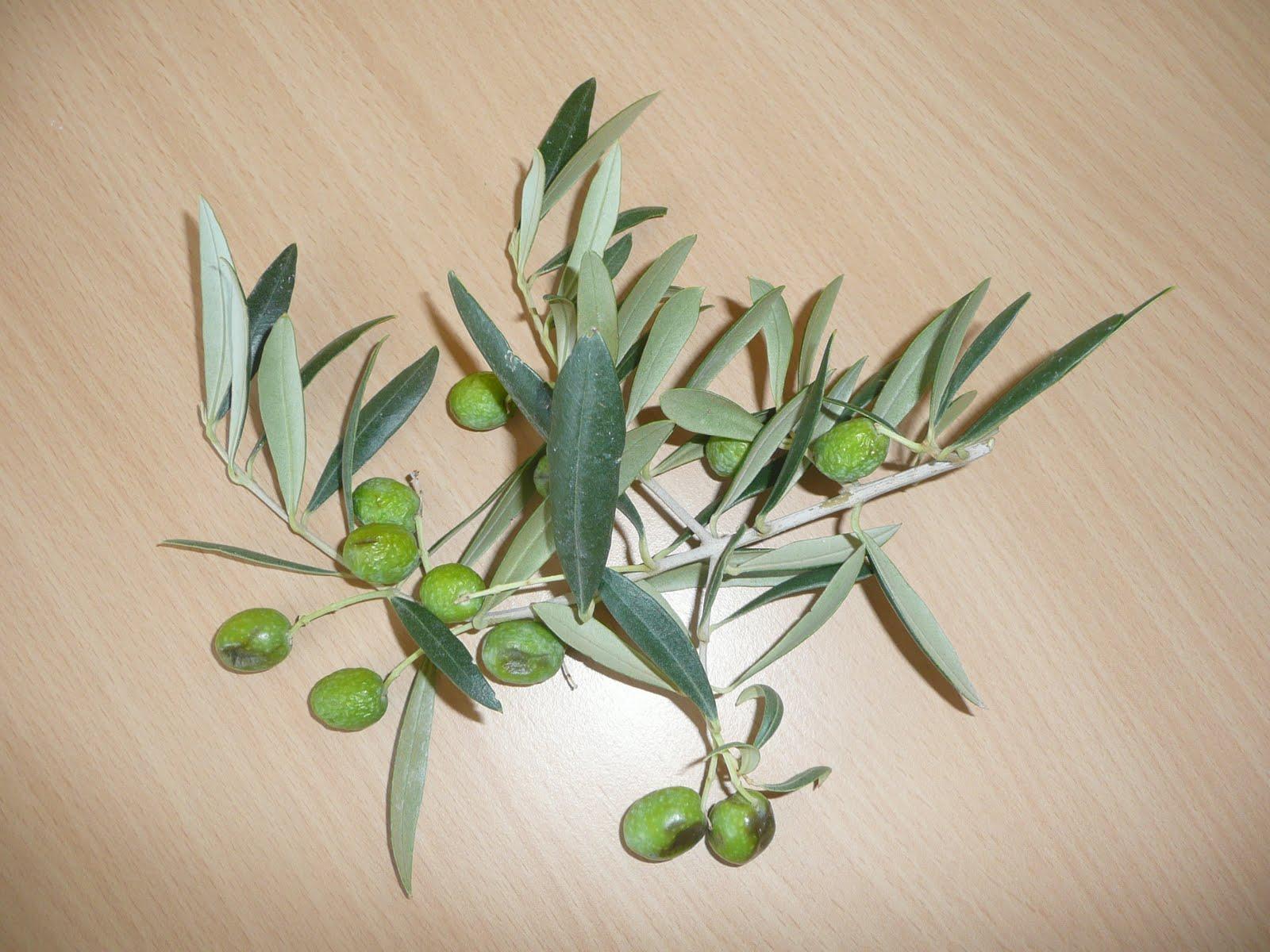 Le cp d 39 amalth e le on de chose le rameau d 39 olivier - Psylle de l olivier ...