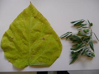 Le cp d 39 amalth e le on de chose le rameau d 39 olivier - Peut on manger les olives piquees par la mouche ...