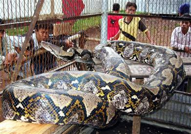 1001Archives: World's Biggest Snake in Indonesia