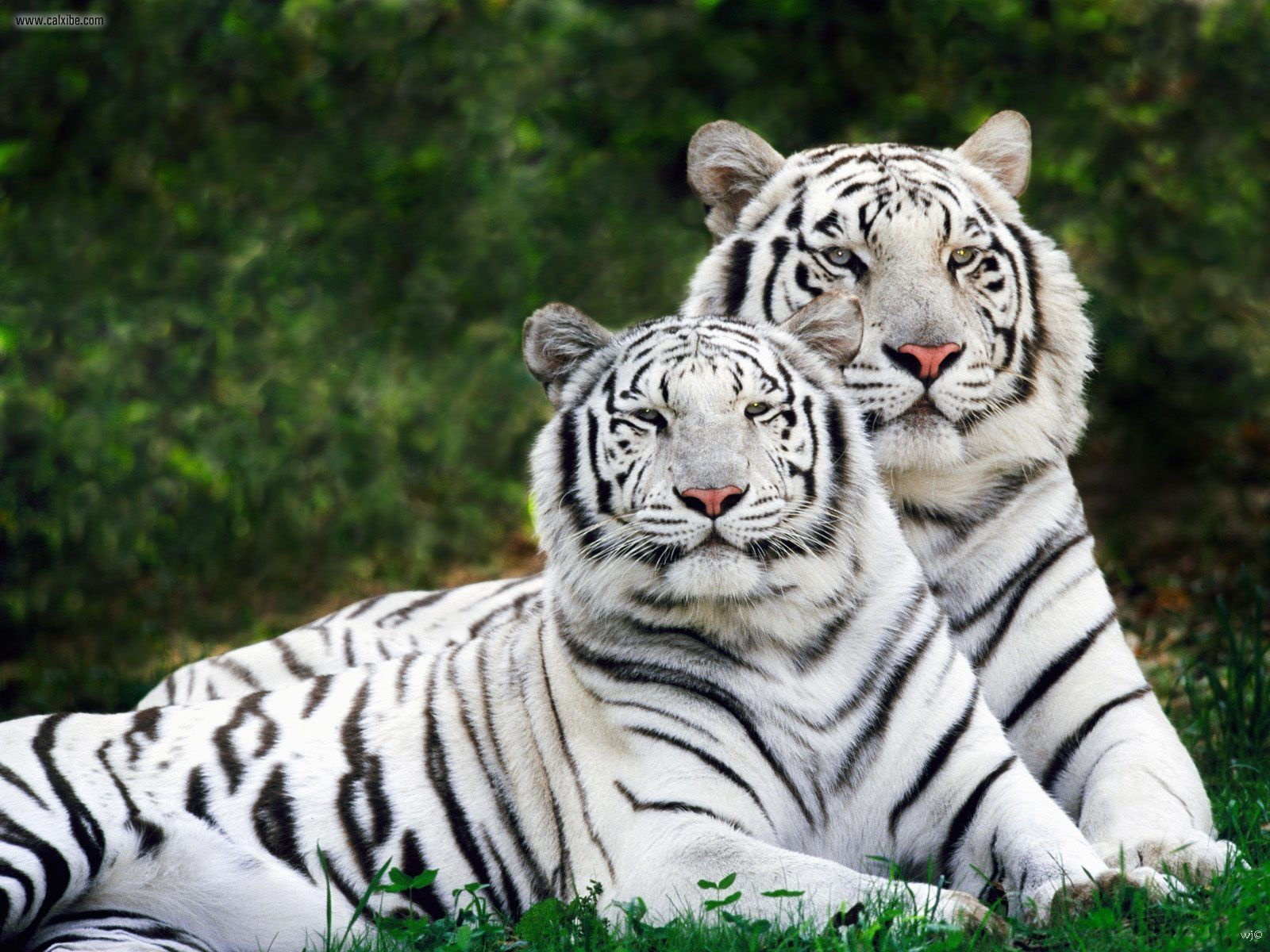 the royal bengal tiger   world news and review