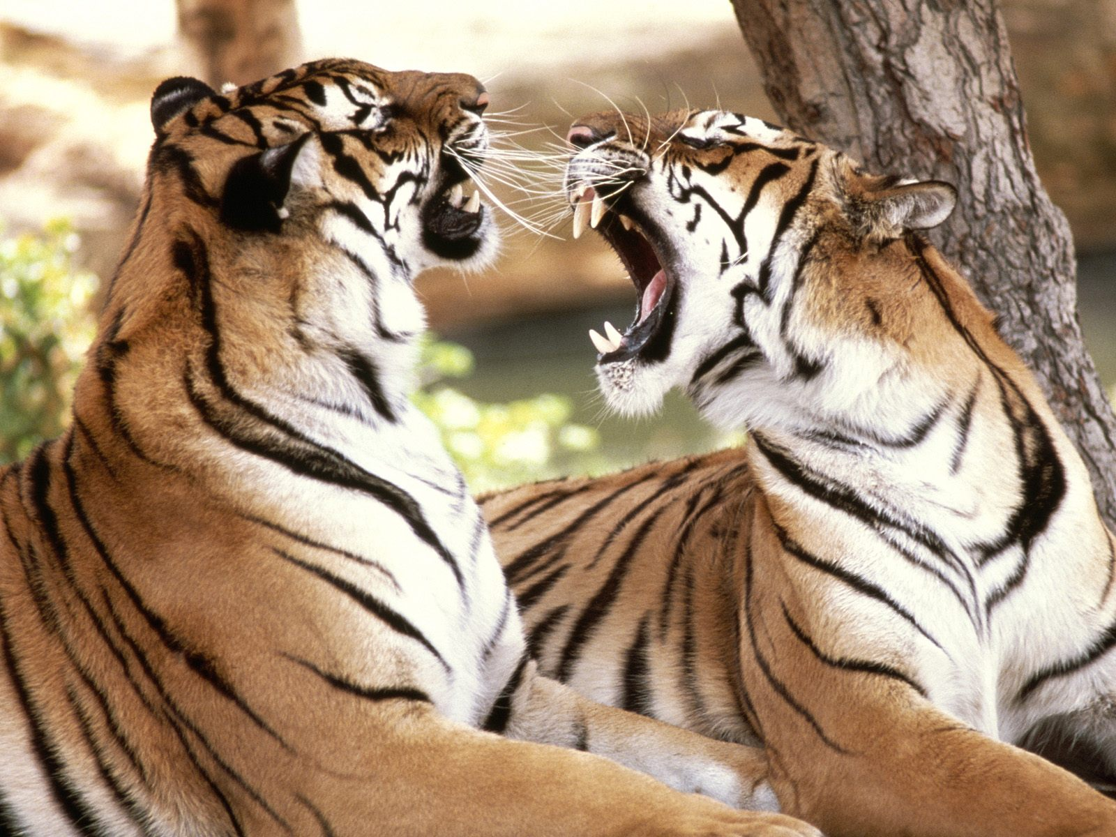 The Royal Bengal Tiger - The Endangered Species ~ MyClipta