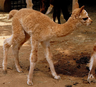 newest cria