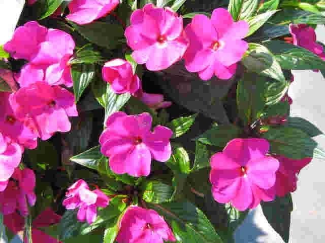 Casa y jardin patio plantas anuales alegria de guinea - Planta alegria de la casa ...