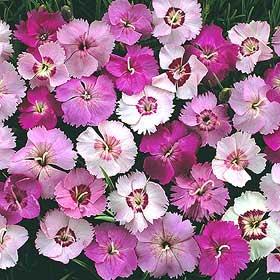 Clavelina (Familia: Caryophyllaceae)